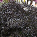 Pittosporum Tom Thumb plant in 1L pot