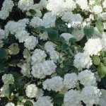 Complete Evergreen hardy Shrub Plant Collection – 6 varieties in 1L pots