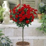 Pair of Patio Standard Roses – Red