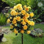 Pair of Patio Standard Roses – Yellow