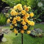 Pair of Patio Standard Roses – Yellow