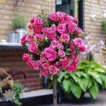 Pair of Patio Standard Roses – Pink