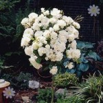 Pair of Patio Standard Roses – White