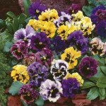 Pansy Frizzle Sizzle Mixed 40 maxiplugs