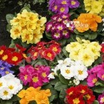 Primrose Alaska Mixed 40 maxiplugs