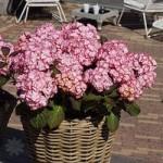 Hydrangea Miss Saori plant in 9cm pot