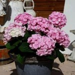 Double-Flowered Hydrangea Love plant 9cm