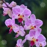 Phaleanopsis Orchid 2 stem