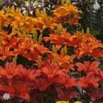Asiatic Lilies Fruit Salad shades x 20 bulbs