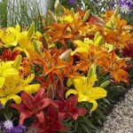 Carpet Lilies Flame Mix – pk of 10 bulbs size 12/14