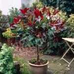Photinia Little Red Robin 1M standard plant