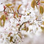 Flowering Cherry Tree Tai-Haku potted 1.5M
