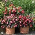 Begonia Big/Whopper Mix x 12 jumbo plugs