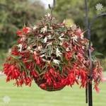 Trailing Begonia Bossa Nova mix x 12 jumbo plugs