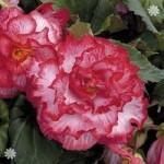 Begonia Majestic Pink Picotee x 12 jumbo plug