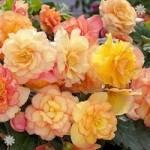 Begonia Majestic Sunburst Picotee x 12 jumbo plug