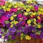 Million Bells Mini Petunia Trailing Plants x 12