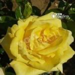 Gift Rose Bush Golden Wedding 3L pot