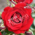 Gift Rose Ruby Anniversary 3L pot