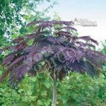 Chocolate Tree – Albizia Eveys Pride 1M tall