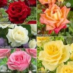 Rose Collection – Best Ever 5 Bush Hybrid Tea Roses