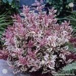 Weigela Monet plants – 3 pack in 9cm pots