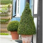 Large Buxus Topiary Pyramid 1.1M in planter