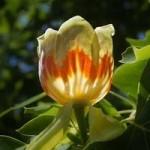 Liriodendron tulipfera (Tulip Tree) 1M tall