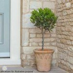 Pair Mini Plaited Standard Bay Trees 60cm