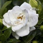 Hardy Gardenia Crown Jewels plant in 9cm pot