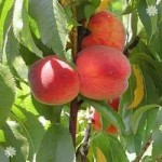 Leaf-Curl Resistant Peach Avalon Pride fruit tree bare root
