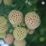 Pineberry Natural Albino (R) palnts – pack of 6 in 9cm pots
