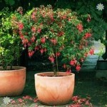 Pair of Standard Fuchsia trees 1M