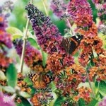 Buddleia Flower Power plant 2L