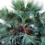 Chamaerops humilis Cerifera (Blue Fan Palm) 40-60cm