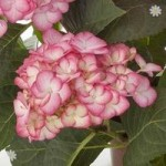 Pair Hydrangea Swinging Sixties (Grafin Cosel) garden ready