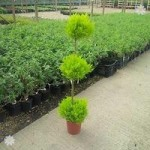 Cupressus Goldcrest TRIO Ball Topiary tree 1.2M