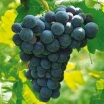 Grape Vine Boskoop Glory (Red) 1.8M tall