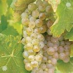Grape Vine Phoenix (White) 1.8M
