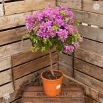 Bougainvillea Alexandra Pink standard 90cm plant