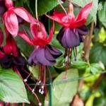 Climbing Fuchsia Lady in Black x 3 garden ready plants