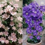 Pair of Boulevard Patio Clematis 2L tripod – Blue & Pink