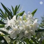 White Oleander Standard tree 1M