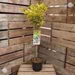 Euonymous Marieke 1M standard tree
