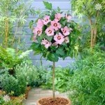 Hardy Hibiscus Hamabo (Pink) 1M standard tree