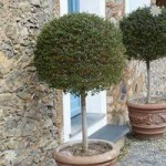Ligustrum delavayanum (Privet Laurel) topiary standard tree 1M tall