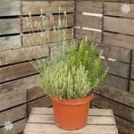 Herb Trio Pot 7.5L – 3 varietiess in 1 pot