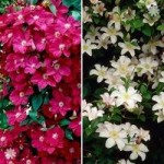 Pair of Boulevard Patio Clematis plants 2L pot 50cm tripod – red & white
