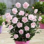 Double Hardy Hibiscus Chiffon collection – 3 x 9cm potted plants