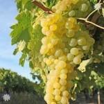 Grape Vine Supaga (White) 1L